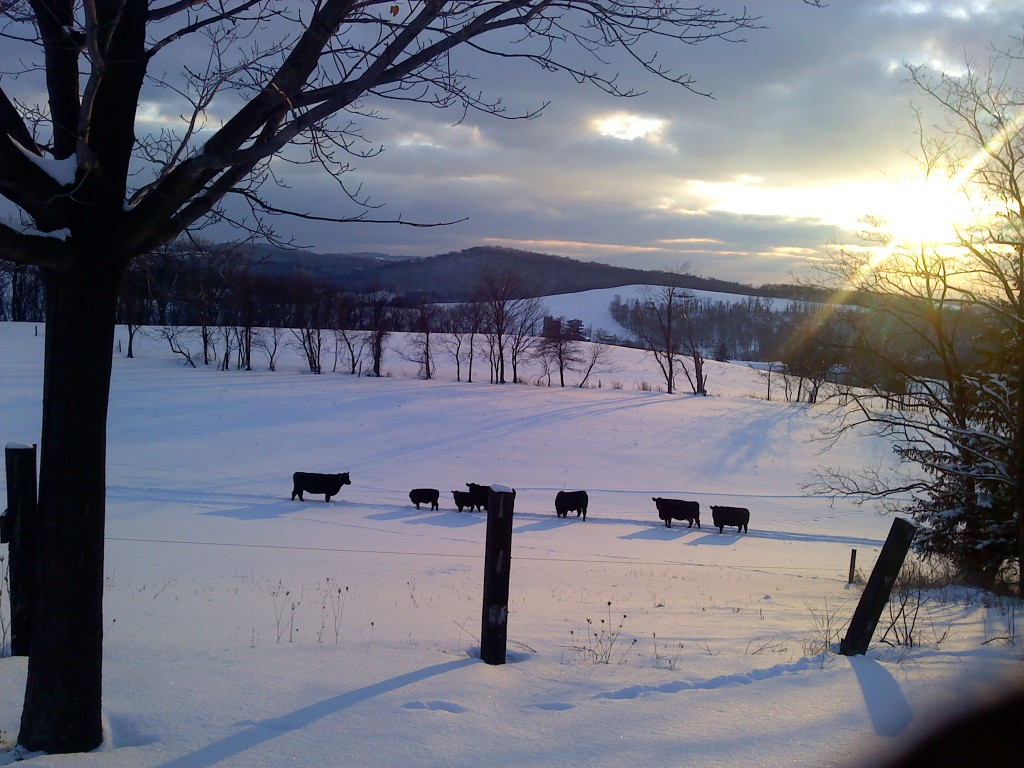 Cattle in pasture in winter time.