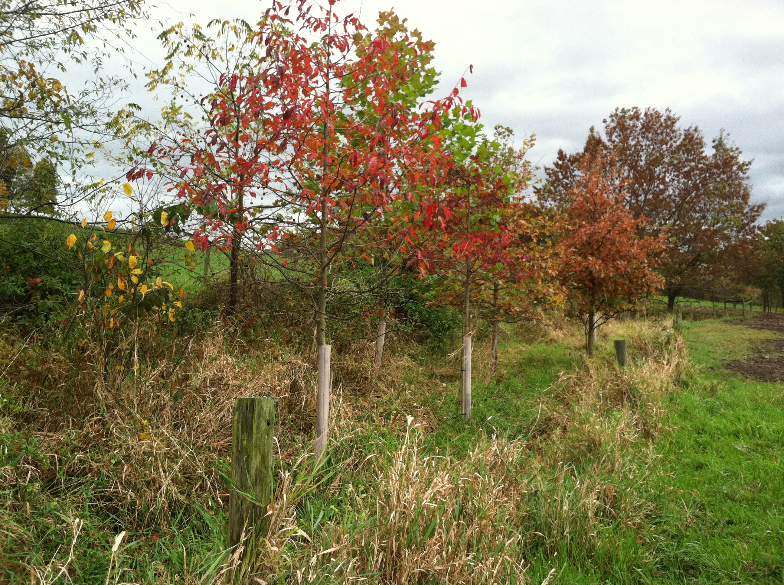 Maturing Riparian Buffer Planted by FSF.